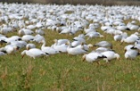 Snow geese in a field