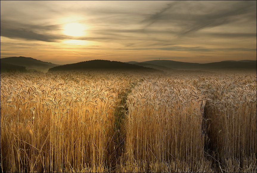 wheat field 28